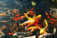 Os peixes decorativos coloridos flutuam em uma lagoa artificial, vista de cima de Foto de Stock Royalty Free