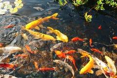 Os peixes decorativos coloridos flutuam em uma lagoa artificial, vista de cima de Imagens de Stock
