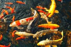 Os peixes decorativos coloridos flutuam em uma lagoa artificial, vista de cima de Fotografia de Stock