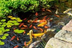Os peixes decorativos coloridos flutuam em uma lagoa artificial, vista de cima de Fotos de Stock Royalty Free