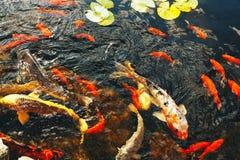 Os peixes decorativos coloridos flutuam em uma lagoa artificial, vista de cima de Imagem de Stock