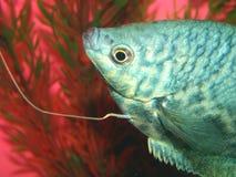 Os peixes do Aquarian marmoreiam o trichopte de Trichogaster do gurami Foto de Stock Royalty Free