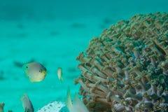 Os peixes do Damsel olham fixamente para baixo Fotografia de Stock