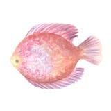 Os peixes do disco Imagem de Stock