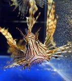 Os peixes do leão em animal de estimação-compram aquário Imagem de Stock
