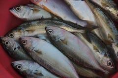 Os peixes do mar Imagens de Stock
