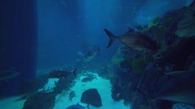 Os peixes enormes nadam no aquário no vídeo da metragem do estoque da alameda de Dubai filme