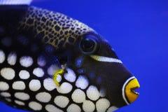Os peixes exóticos fecham-se acima sob a foto da água Fotos de Stock