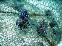 Os peixes exóticos são prendidos usando um equipamento tradicional, mas não permite que a espécie seja selecionada imagens de stock royalty free