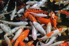 Os peixes extravagantes coloridos da carpa, peixes do koi em Loro Parque, Tenerife, podem Fotografia de Stock Royalty Free