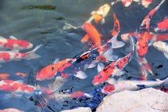 Os peixes extravagantes coloridos do koi na água de superfície/carpa bonita dos peixes que nada no jardim da lagoa apreciam a flu imagem de stock