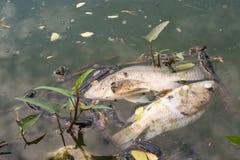 Os peixes inoperantes flutuaram na água escura, poluição de água Fotos de Stock Royalty Free