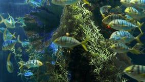 Os peixes listrados nadam em torno do recife da rocha sob a água azul profunda, escola dos peixes no profundas do mar, águas azui video estoque