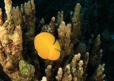 Os peixes mascararam butterflyfish imagens de stock royalty free