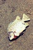 Os peixes morrem estilo do vintage Fotografia de Stock Royalty Free
