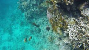 Os peixes nadam perto dos recifes de corais video estoque