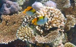 Os peixes pequenos tropicais brilhantes flutuam sobre um coral Fotografia de Stock Royalty Free