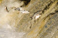 Os peixes que saltam acima das quedas Foto de Stock Royalty Free