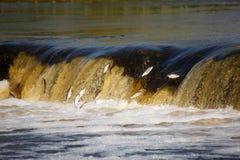 Os peixes que saltam na cachoeira Fotos de Stock Royalty Free