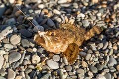 Os peixes travados em pescar um pavão-do-mar Foto de Stock
