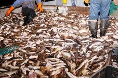 Os peixes travados pescadores são processados na plataforma Foto de Stock Royalty Free
