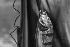 Os peixes travaram Imagens de Stock