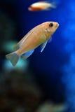 Os peixes tropicais foto de stock