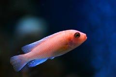 Os peixes tropicais fotos de stock