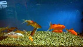 Os peixes vermelhos estão nadando em um aquário filme