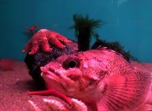 Os peixes vermelhos preguiçosos do aquário e da estrela pescam Foto de Stock Royalty Free