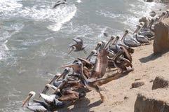 Os pelicanos aproximam a água Imagens de Stock Royalty Free