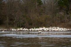 Os pelicanos brancos reunem-se na linha costeira do rio no inverno fotografia de stock