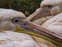Os pelicanos cor-de-rosa acoplam-se imagem de stock royalty free
