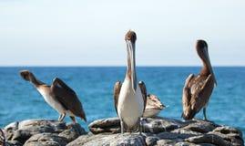 Os pelicanos de Califórnia Brown que empoleiram-se no afloramento rochoso em Cerritos encalham em Punta Lobos em Baja California  fotografia de stock
