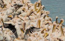 Os pelicanos descansam na costa da lagoa Imagens de Stock Royalty Free