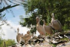 Os pelicanos são refletidos em um lago em Lille (França) Fotos de Stock Royalty Free