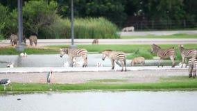 Os pelicanos, zebras no safari estacionam com uma mudança de video estoque