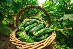 Os pepinos são dobrados em uma cesta em uma estufa Foto de Stock