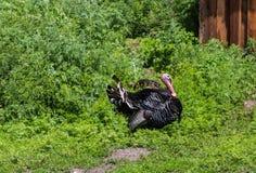 Os perus estão andando na jarda, vida da vila, Altai, Rússia fotografia de stock royalty free