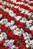 Os petúnias brancos e vermelhos bonitos arranjaram nas fileiras Fotografia de Stock