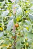 Os pimentões maduros verdes na planta jardinam com luz solar fotografia de stock