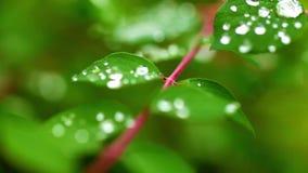 Os pingos de chuva da água no verde saem da planta na natureza video estoque