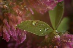 Os pingos de chuva em um trevo folheiam com um fundo obscuro fotos de stock royalty free