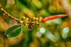 Os pingos de chuva penduram no ramo do ficus da árvore Fotos de Stock Royalty Free
