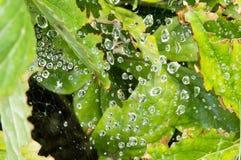 Os pingos de chuva suspenderam em uma Web com luz - folhas do verde Foto de Stock