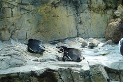 Os pinguins foto de stock royalty free