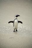 Os pinguins africanos em pedregulhos encalham, África do Sul Fotos de Stock Royalty Free