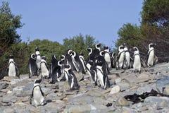 Os pinguins africanos no console Cape Town de Robben Fotos de Stock Royalty Free