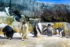 Os pinguins agrupam a posição na rocha Imagem de Stock