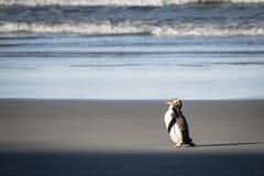 os pinguins Amarelo-eyed são são encontrados nas regiões do sul de Nova Zelândia foto de stock